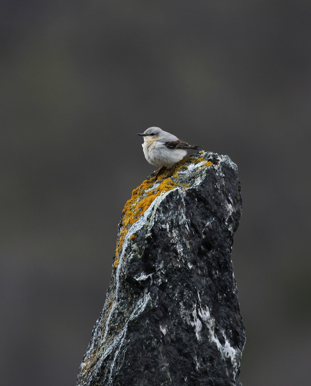 Steinskvatt - Foto: Per Jordhøy