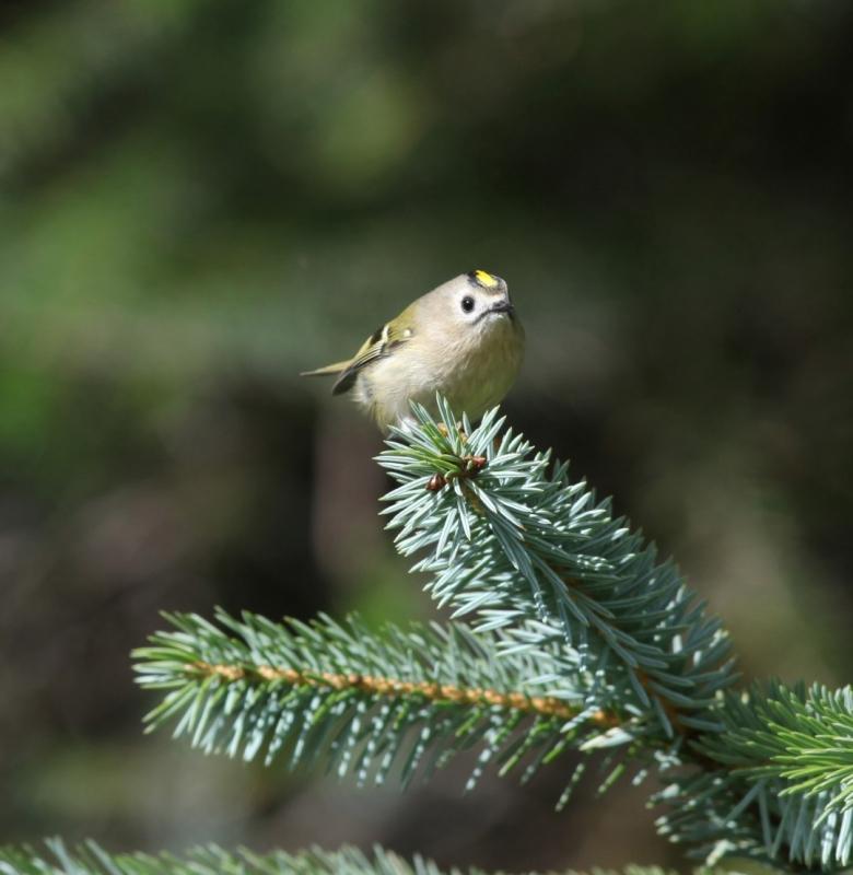 Fuglekonge - Foto: Per Jordhøy
